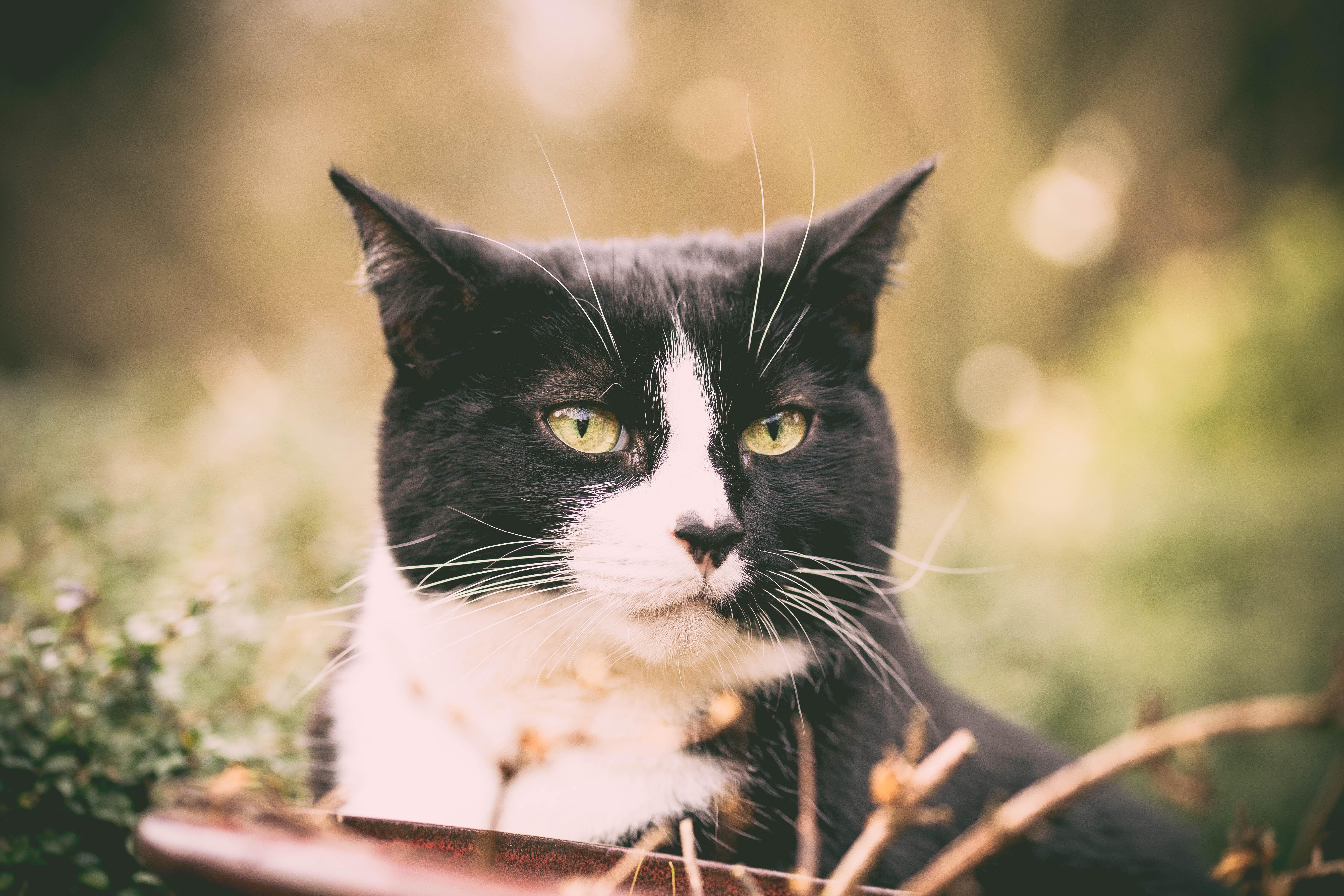 Schwarz Weiße Katze im Freien blickt an Kamera vorbei