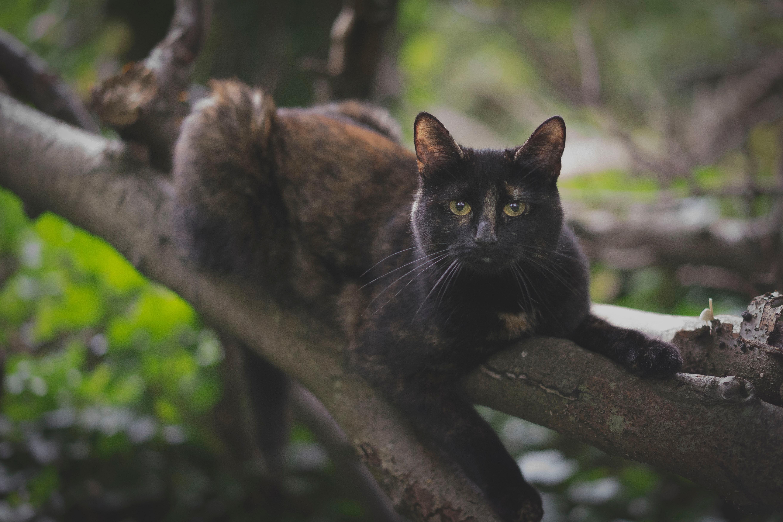 Braun-Schwarze Katze liegt auf Baumast und blickt in die Kamera