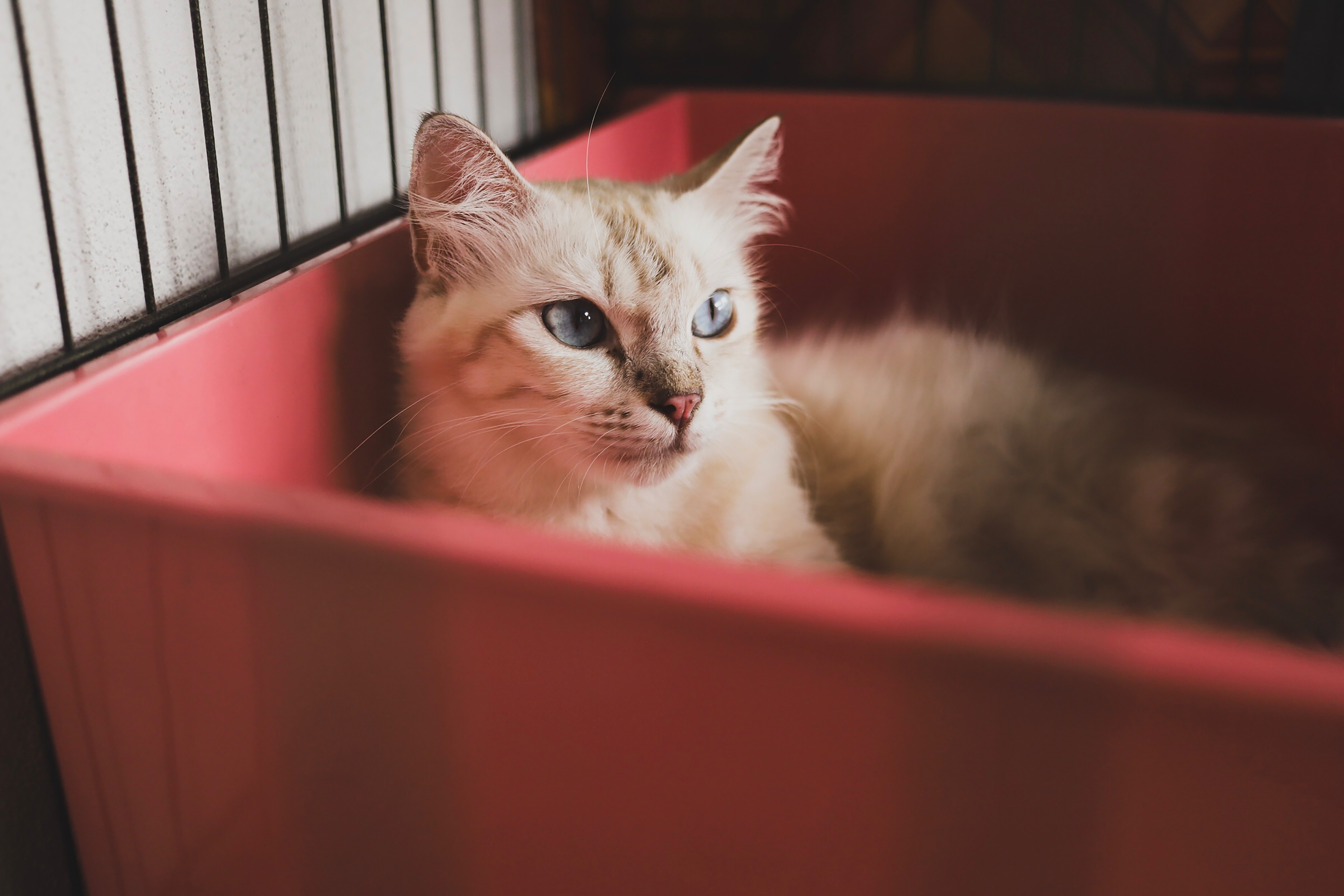 Helle Katze liegt in roter Box mit Katzenstreu