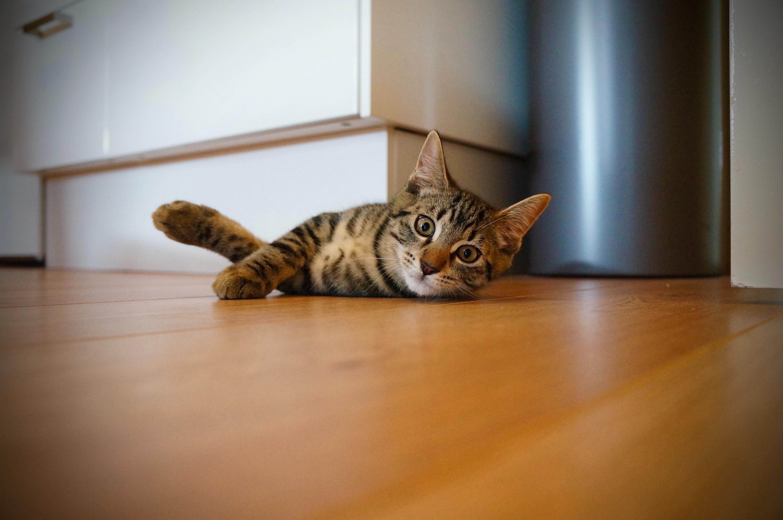 Braun getigerte Katze liegt auf Holzboden und schaut in die Kamera