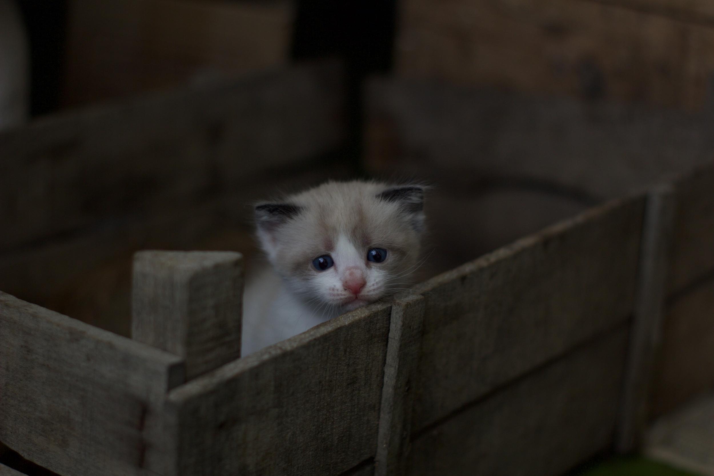Weiß graues Kitten in brauner Holzkiste guckt in Kamera