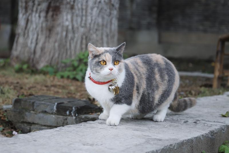 Mehrfarbige Katze mit Katzenhalsband sitzt auf Mauer - Halsbänder für Katzen