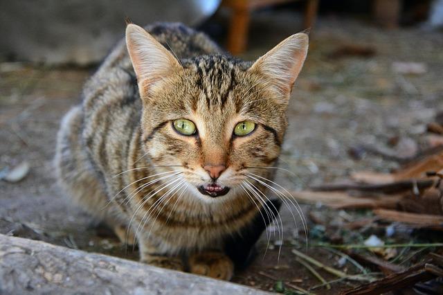 Getigerte Katze rümpft die Nase
