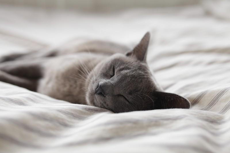Graue Katze schläft auf Bettdecke