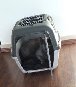 Graue Katze liegt in Transportbox und guckt in die Kamera