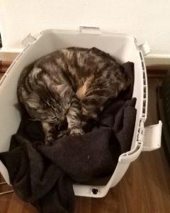 Getigerte Katze liegt schlafend in der Transportbox