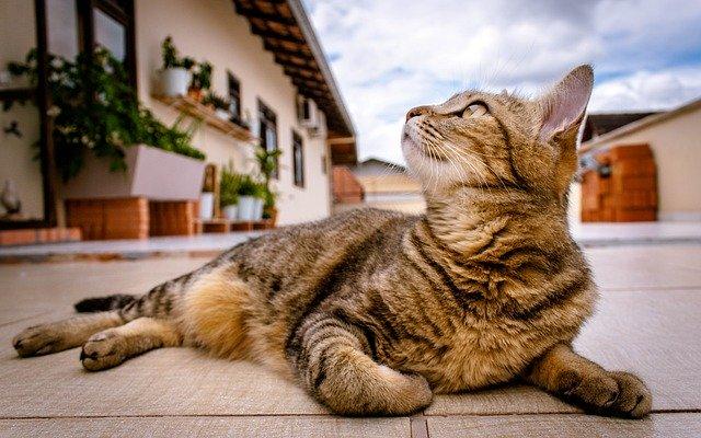 Bengalkatze liegt auf Terrasse und guckt in den Himmel