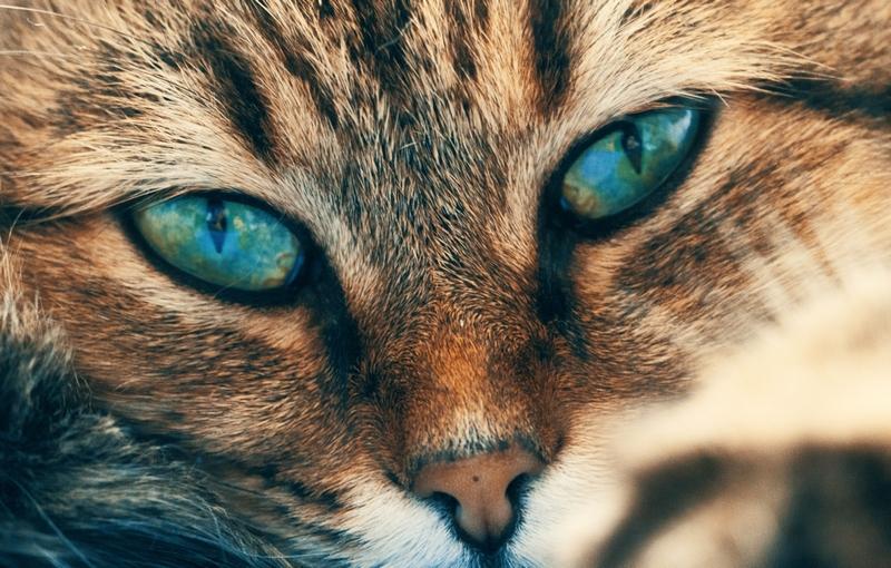Blau-Grüne Katzenaugen im Fokus