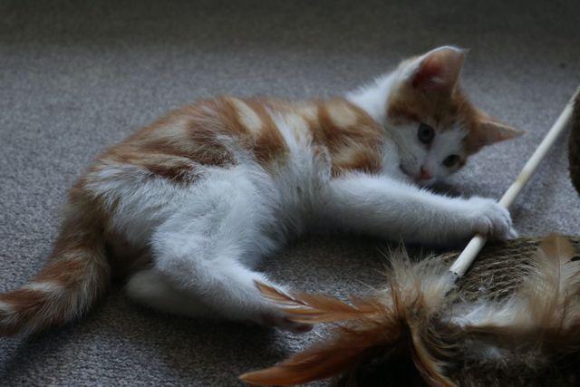 Rote Weiße Katze spielt mit Federangel
