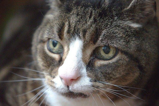 Ältere Katzen - getigerte Katze guckt an KAmera vorbei