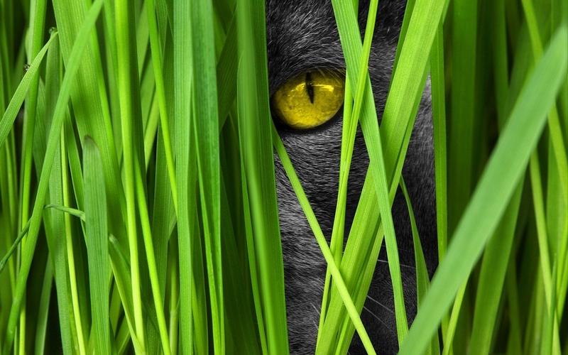 Graue katze blickt durch grünes Gras