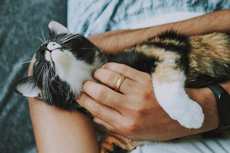 Mehrfabrige Katze liegt in Armen von Mensch und genießt Streicheleinheit
