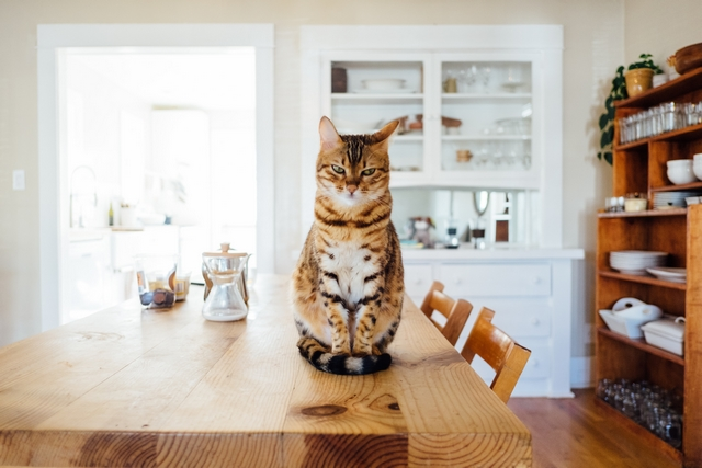 Bengalkatze sitzt in der Küche auf dem Esstisch