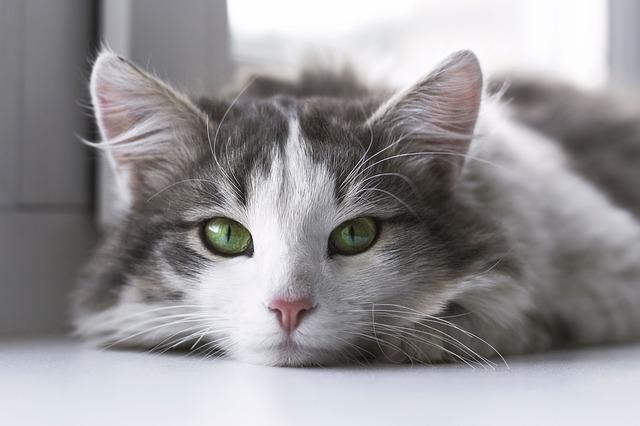 Grau-Weiße Katze mit grünen Augen guckt liegend in Kamera