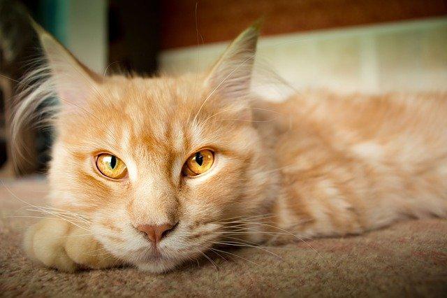Rote Katze mit Luchsohren guckt müde in Kamera