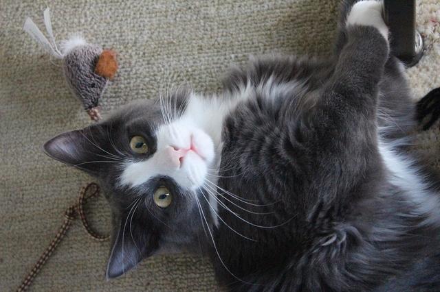 Graues Kätzchen mit weißer Schnute guckt verspielt in Kamera