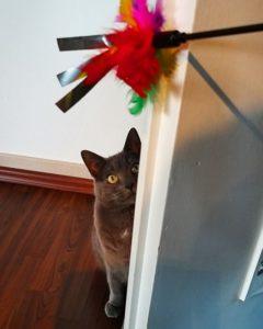 Graue Katze lauert hinter der Tür dem Federwedel-Spielzeug auf
