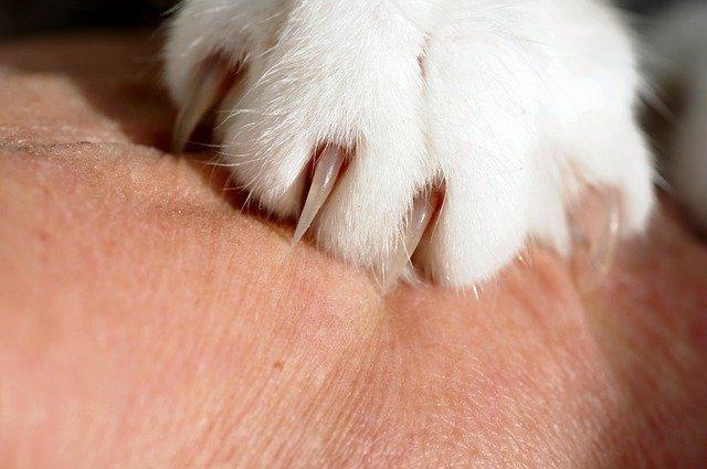 Weiße Katzenpfote mit Krallen